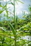 Gombo vert photographie stock libre de droits