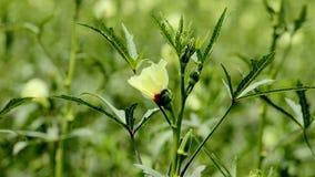 Gombo vert, usine de doigt de dame avec la fleur images stock