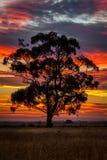 Gomboom bij Zonsondergang, Graversrust, Victoria, Australië, September 2016 Stock Foto's
