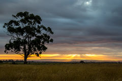 Gomboom bij Zonsondergang, Sunbury, Victoria, Australië, December 2016 Royalty-vrije Stock Foto