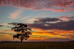 Gomboom bij Zonsondergang, Sunbury, Victoria, Australië, December 2016 Royalty-vrije Stock Afbeeldingen