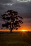 Gomboom bij Zonsondergang, Sunbury, Victoria, Australië, December 2016 Stock Fotografie