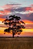 Gomboom bij Zonsondergang, Sunbury, Victoria, Australië, December 2016 Stock Afbeelding