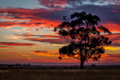 Gomboom bij Zonsondergang, Sunbury, Victoria, Australië, December 2016 Royalty-vrije Stock Foto's