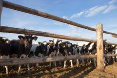 Gomel, Беларусь - 10-ое июля 2016: Коровы на ферме в ручке за загородкой есть silage в Gomel, Беларуси Стоковые Изображения