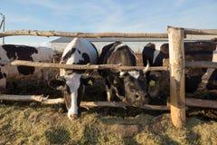 Gomel, Беларусь - 10-ое июля 2016: Коровы на ферме в ручке за загородкой есть silage в Gomel, Беларуси Стоковое Изображение RF