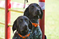 Gomel, Беларусь - 27-ое мая: Выставка охотничьих собак конкуренции в конформации 27-ое мая 2013 в Gomel, Беларуси Стоковое фото RF