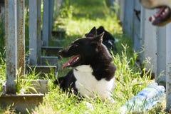 Gomel, Беларусь - 27-ое мая: Выставка охотничьих собак конкуренции в конформации 27-ое мая 2013 в Gomel, Беларуси Стоковая Фотография RF