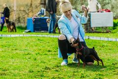 Black mini pinscher zwergpinscher next to the girl. Gomel, Belar stock photo