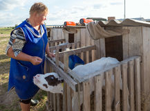 Gomel, Belarus - July 10, 2016: milkmaid feeds the small calf in the evening In Gomel, Belarus. Stock Photography