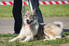 Gomel, Belarus - May 27: Exhibition of hunting dogs. competitions in conformation May 27, 2013 in Gomel, Belarus .. Stock Photo