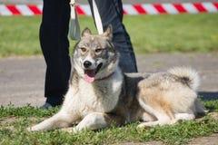 Gomel Białoruś, Maj, - 27: Wystawa łowieccy psy rywalizacje w conformation Maj 27, 2013 w Gomel, Białoruś Zdjęcie Stock