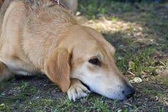 Gomel Białoruś, Maj, - 27: Wystawa łowieccy psy rywalizacje w conformation Maj 27, 2013 w Gomel, Białoruś Fotografia Stock