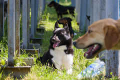 Gomel Białoruś, Maj, - 27: Wystawa łowieccy psy rywalizacje w conformation Maj 27, 2013 w Gomel, Białoruś Zdjęcia Stock