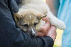 Gomel Białoruś, Maj, - 27: Wystawa łowieccy psy rywalizacje w conformation Maj 27, 2013 w Gomel, Białoruś Obraz Royalty Free