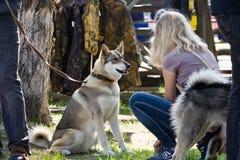 Gomel, Bielorrusia - 27 de mayo: Exposición de los perros de caza competencias en conformación el 27 de mayo de 2013 en Gomel, Bi imágenes de archivo libres de regalías