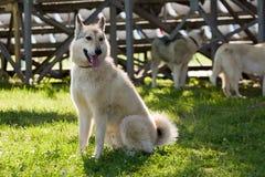 Gomel, Bielorrusia - 27 de mayo: Exposición de los perros de caza competencias en conformación el 27 de mayo de 2013 en Gomel, Bi fotos de archivo libres de regalías