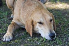 Gomel, Bielorrusia - 27 de mayo: Exposición de los perros de caza competencias en conformación el 27 de mayo de 2013 en Gomel, Bi fotografía de archivo libre de regalías
