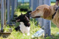 Gomel, Bielorrusia - 27 de mayo: Exposición de los perros de caza competencias en conformación el 27 de mayo de 2013 en Gomel, Bi foto de archivo