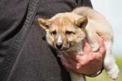 Gomel, Bielorrusia - 27 de mayo: Exposición de los perros de caza competencias en conformación el 27 de mayo de 2013 en Gomel, Bi fotos de archivo