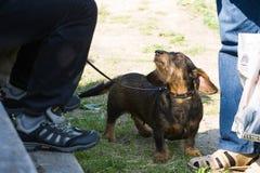 Gomel, Bielorrusia - 27 de mayo: Exposición de los perros de caza competencias en conformación el 27 de mayo de 2013 en Gomel, Bi fotografía de archivo