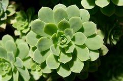 Gomerense do Aeonium Imagem de Stock Royalty Free