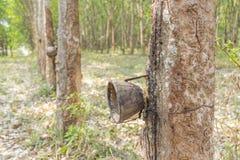Gomma della piantagione Fotografia Stock
