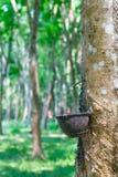 Gomma naturale che si raccoglie dall'albero di gomma Fotografie Stock