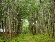 Gomma trees immagini stock