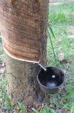 Gomma trees Immagine Stock Libera da Diritti