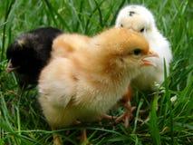 Gomme-gutte, blancs et bl de poulet Photographie stock