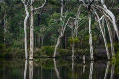 Gommes de Ghost se reflétant dans Margaret River Photo stock