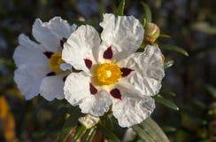 Gommi i fiori del Rockrose alla riva del fiume di Piedras, Huelva, Spagna Immagini Stock Libere da Diritti
