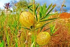 Gomphocarpus physocarpus Royalty Free Stock Photography