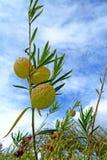 Gomphocarpus physocarpus. In beautiful park Stock Image