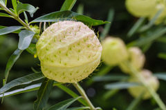 Gomphocarpus physocarpus, commonly known as balloon plant. Or swan fruit Royalty Free Stock Photography