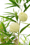 Gomphocarpus physocarpus, commonly known as balloonplan or swan Stock Photo