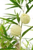 Gomphocarpus physocarpus som gemensamt är bekant som balloonplan eller svan Arkivfoto