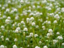 Gomphrena celosioides Mart. White flower of Gomphrena celosioides Mart Royalty Free Stock Image