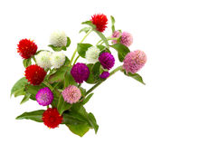 Gomphrena globosa Royalty Free Stock Photos