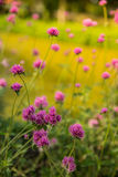 Gomphrena globosa or Fireworks flower. Violet flower. Royalty Free Stock Photography