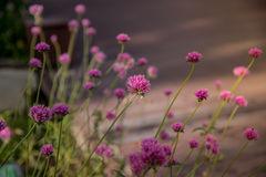 Gomphrena globosa or Fireworks flower. Violet flower. Stock Photos