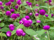 Gomphrena globosa flower. Globe amaranth or Gomphrena globosa flower Royalty Free Stock Photos