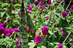 Gomphrena globosa flower and butterfly. In Pattaya royalty free stock images