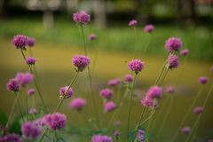 Gomphrena globosa lub fajerwerku kwiat Fiołkowy kwiat Zdjęcia Royalty Free