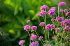 Gomphrena globosa lub fajerwerku kwiat Fiołkowy kwiat Obrazy Royalty Free