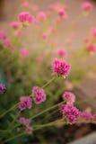 Gomphrena globosa lub fajerwerku kwiat Fiołkowy kwiat Obrazy Stock
