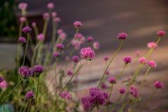 Gomphrena globosa lub fajerwerku kwiat Fiołkowy kwiat Zdjęcia Stock