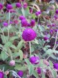 Gomphrena globosa lub Perłowy wiecznotrwały kwiat zdjęcie stock