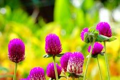 Gomphrena Globosa oder Junggeselle-Knopf-Blume stockfotografie